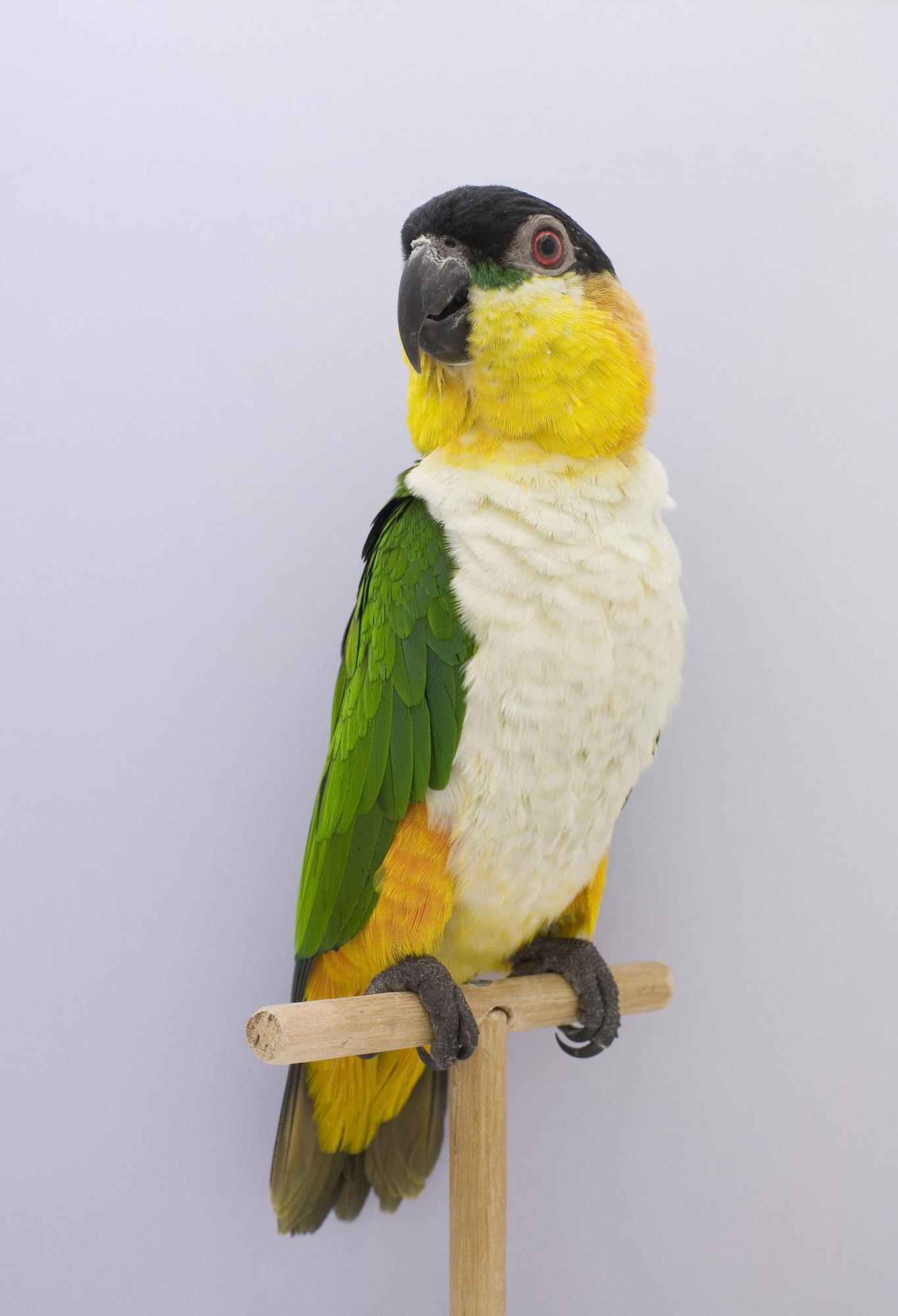 Black Headed Caique #1, 2009 | Page 2 | The Photographers' Gallery